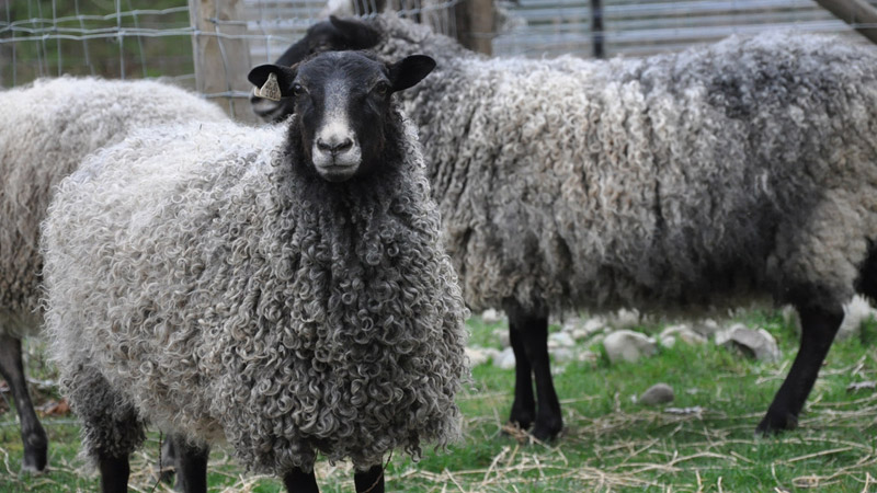 Gotland Sheep For Sale | Sustainably Raised at ARAN Farms | near